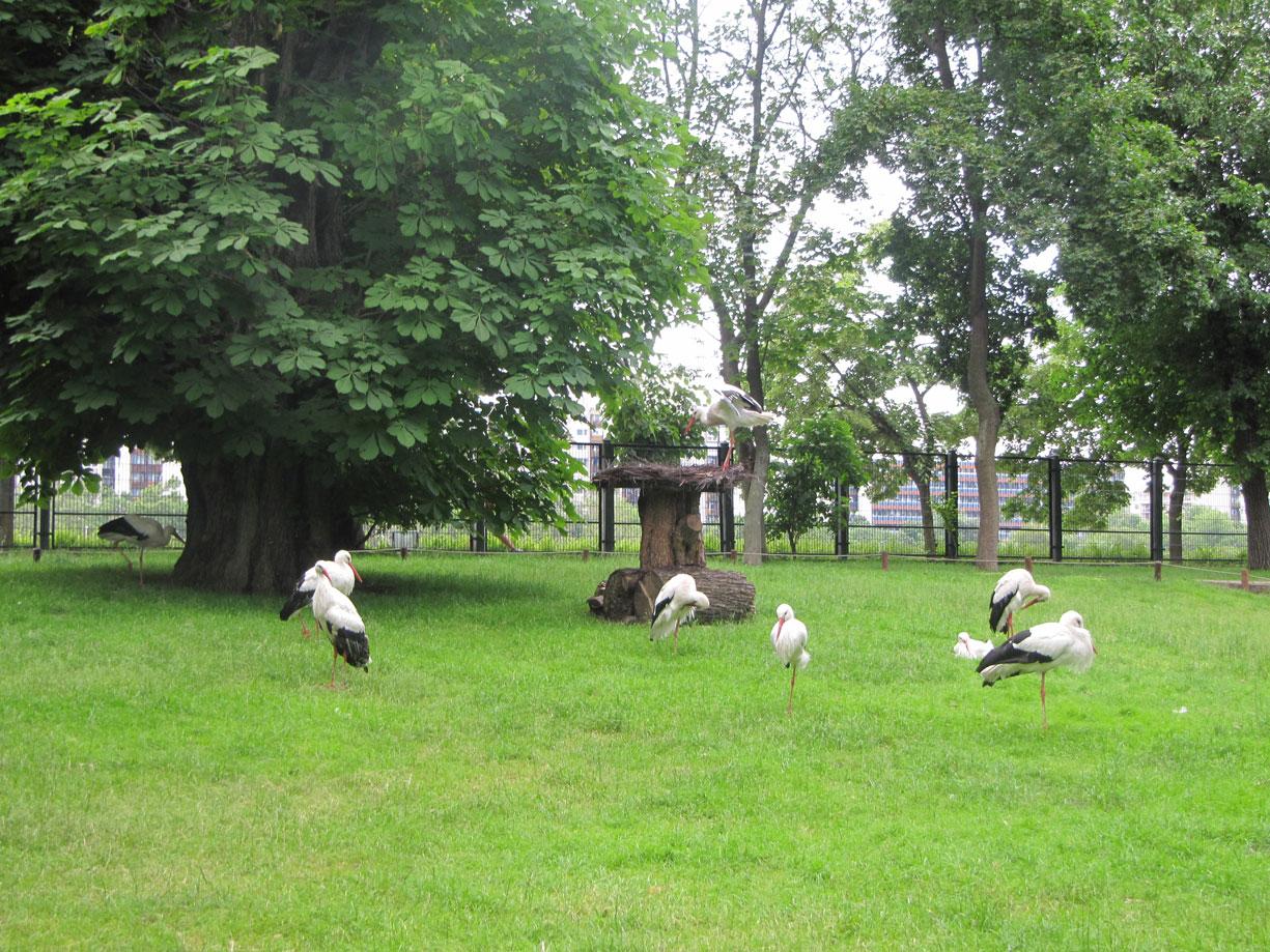 Margaret Adası'nın leylekleri