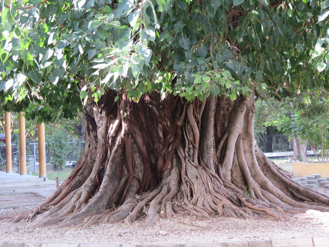 Müzenin bahçesindeki bu ağaç kaç yaşında olabilir?