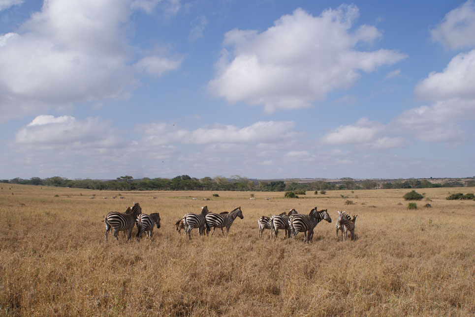 Milli Park'ın zebra kolonisi