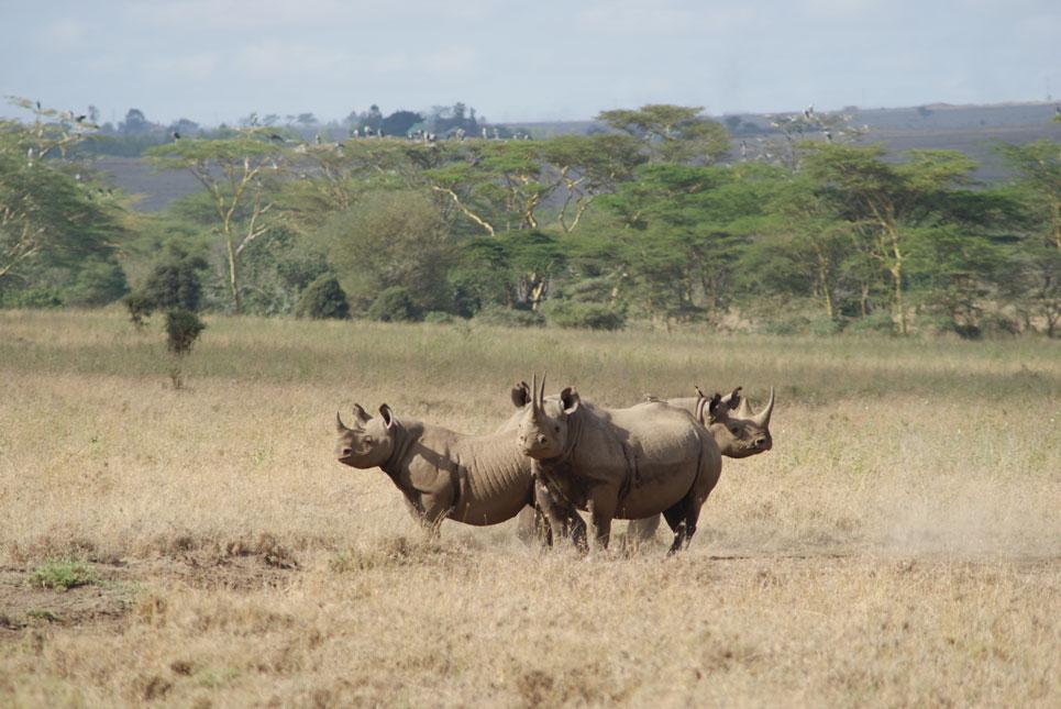 Nairobi Milli Parkı'nda gergedanlar