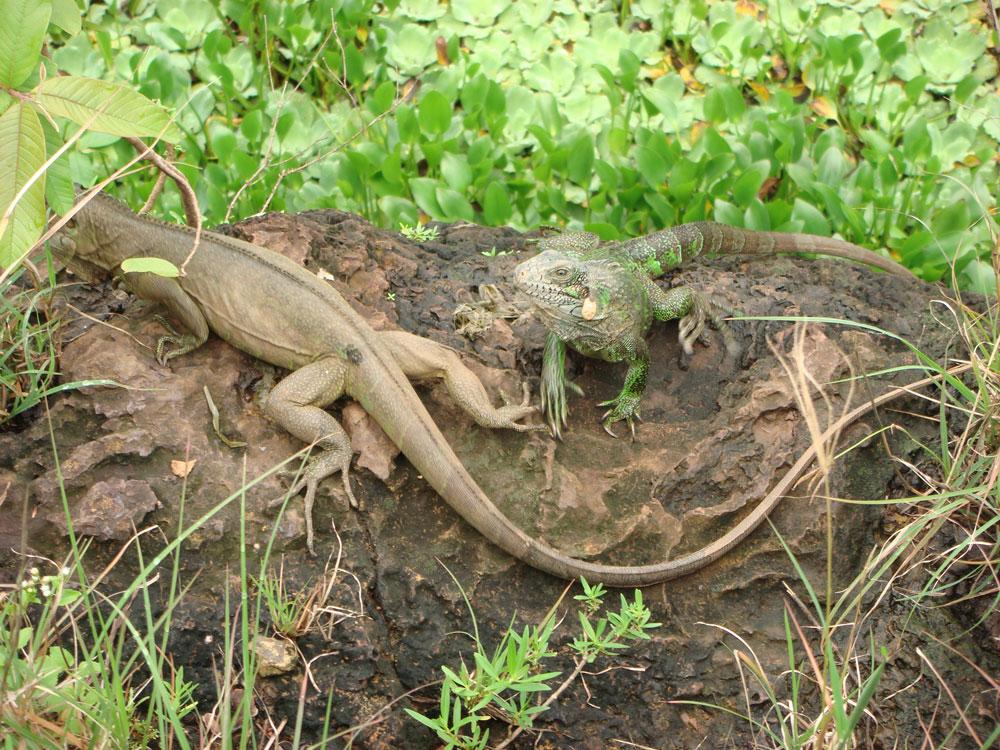 Taş ocağı çukurunda iguanalar