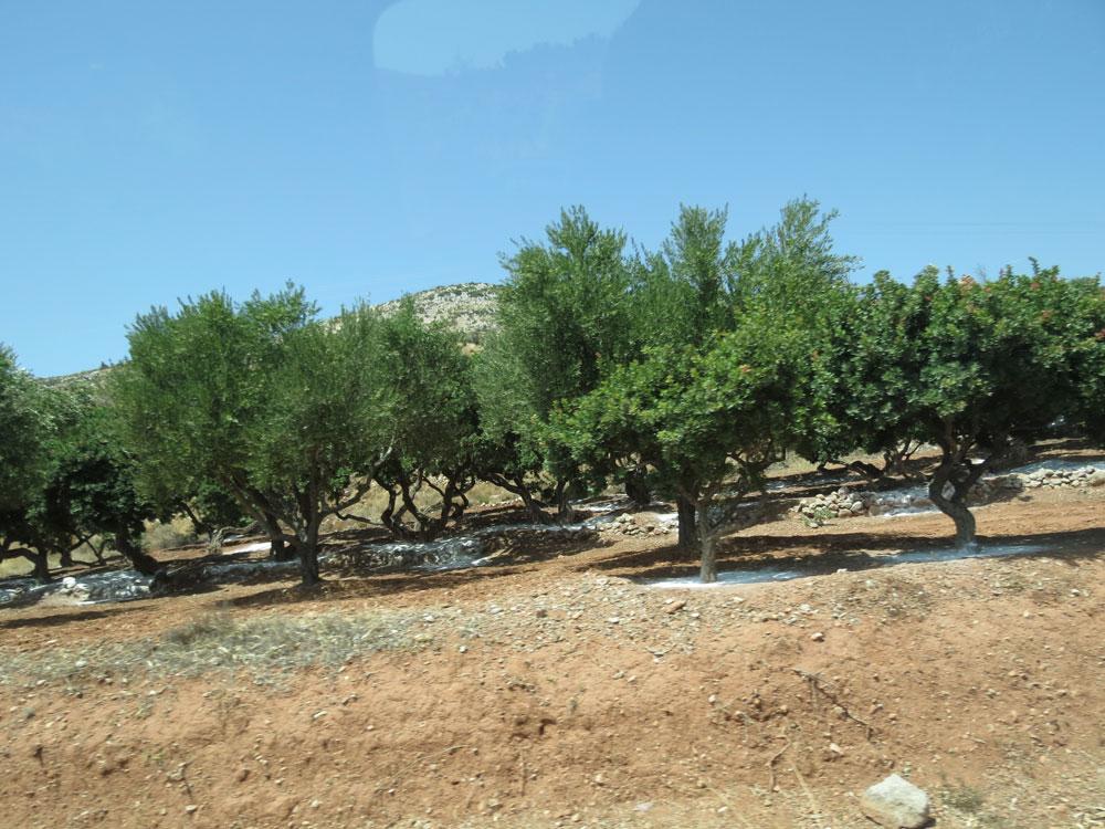 Sakız ağaçlarının dibine konulan beyaz toz, sakız damlalarının temiz bir şekilde toplanmasını kolaylaştırıyor...