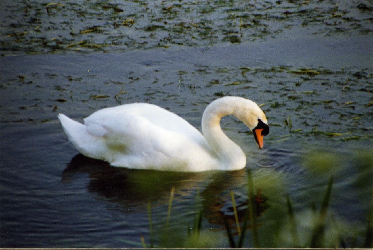 İlk fotoğrafçılık denemelerim. Bu defa modelim Stour Nehri'nde kendi halinde yüzen bir kuğu...