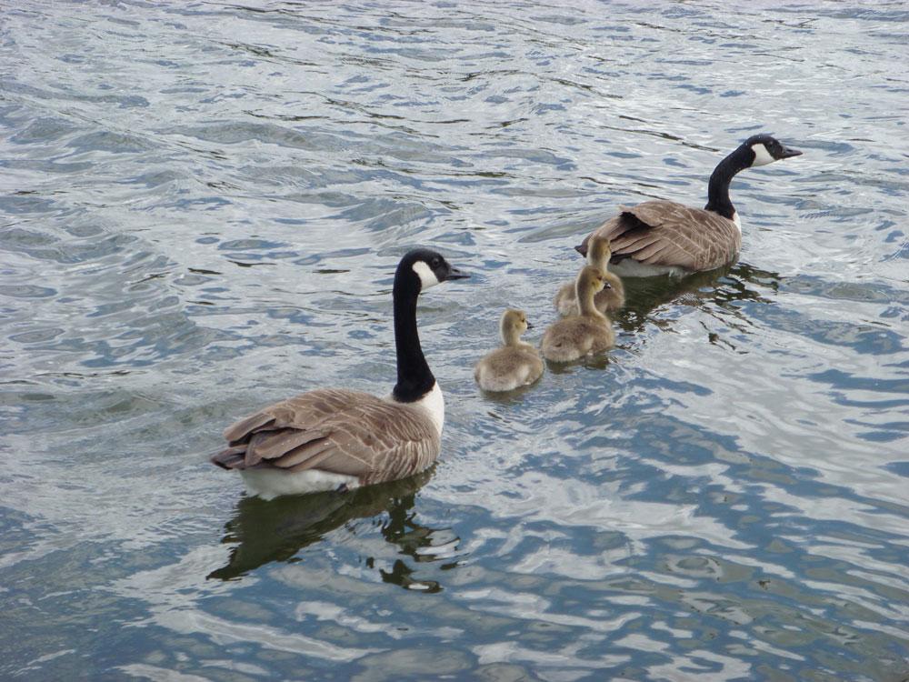 Hyde Park'ın içindeki Serpentine adlı gölette mutlu bir aile tablosu