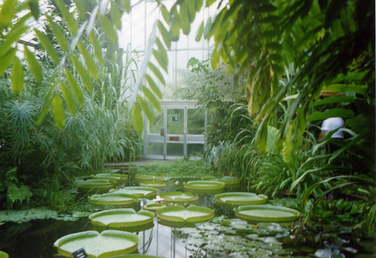 Edinburgh Botanik Bahçesi'nde 70 kg ağırlık taşıyabilen dev nilüferler